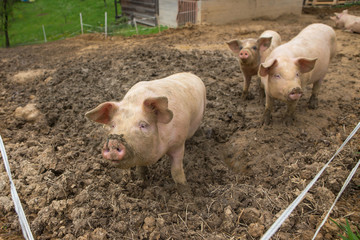 Young pigs in mud in herd on a pig breeding farm