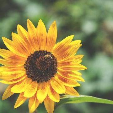 einzelne Sonnenblume im Sonnenlicht - vintagelook
