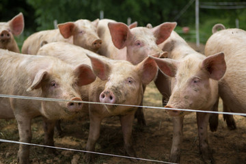Pigs in mud at pig breeding farm