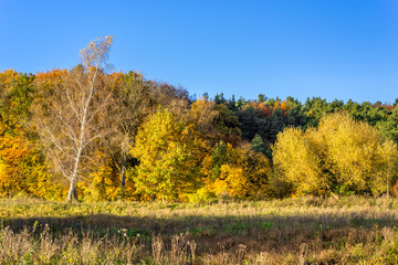Sunny landscape of autumn, forest with yellow trees nd blue sky
