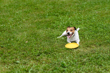 Dog lying down with flying disc on green grass background
