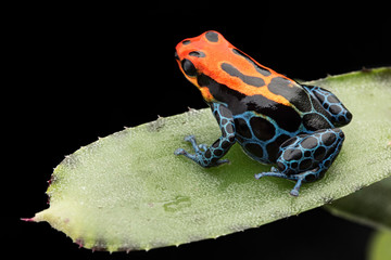 Amazonian Poison dart Frog, Ranitomeya ventrimaculata, Arena Blanca. Red blue poisonous animal from the Amazon rain forest of Peru. .
