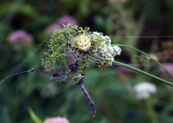 a yellow spider caught a dragonfly on a flower
