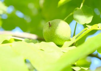 Green walnut on the tree