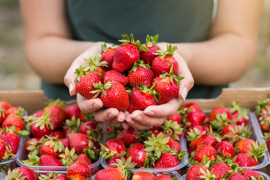 Woman holding a juicy bitten strawberry into the camera,strawberry in arm. Woman holding strawberry in hands in greenhouse,Female hand holding strawberry on blurred background,strawberry crop concept