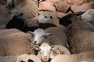 Dosificación de ovinos y vacunos Poroy - Cusco, Perú