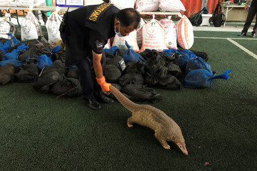 A pangolin  walks during a news conference after Thai customs confiscated 136 live pangolins, in Bangkok, Thailand