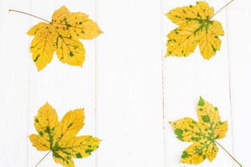 Abstract layout for the background of maple leaves on white boards