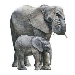 Photo sur Plexiglas Elephant elephant mother and baby on white background. Elephant isolated