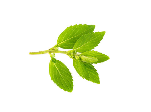 Sprig of mint on a white background