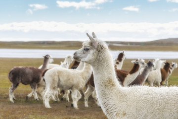 a herd of llamas, Argentinian Patagonia