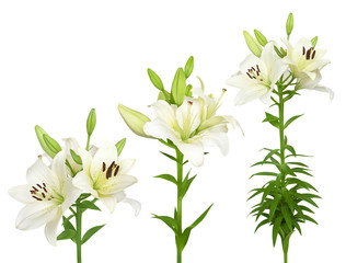 Fresh white lilies