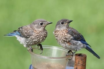 Fotoväggar - Juvenile Eastern Bluebirds