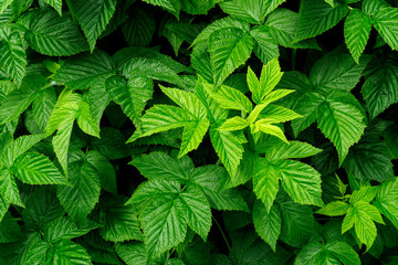 Background of green raspberry bush leaves.