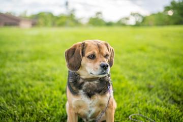Portrait of a cute beagle