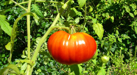 Ripe red tomato on a vine