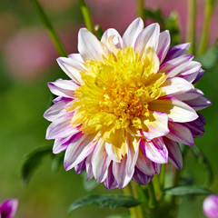 Dahlia flower on a background of a flowerbed.