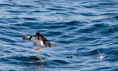 Atlantic Puffin at the start of its flight.