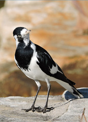 Magpie-lark also known as Peewee