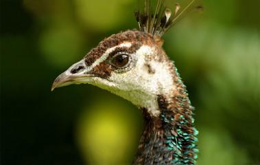 Peacock Female