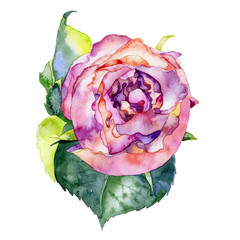 Beautiful bright red flower. Rose flower. Watercolor. Illustration