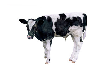 Cow, calf on white background.