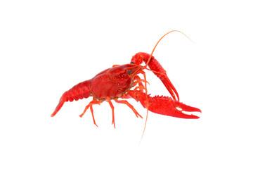 Crawfish, Crayfish Bright Orage Close-up.
