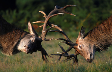Two stag deer clash antlers during the beginning of the rutting season in Richmond Park, south west London
