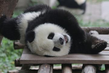 Autocollant pour porte Panda Sweet face of Fluffy Baby Panda in Chongqing, China