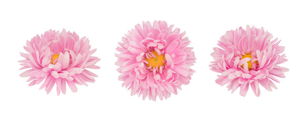 Set of pink aster flowers isolated on a white