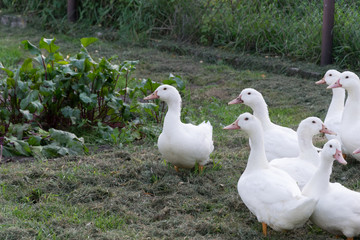A group of white ducks stand on the shore of the pond