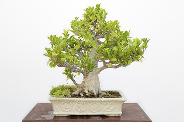 Ficus retusa bonsai on a wooden table and white background