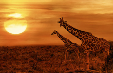Giraffes at African Savanna