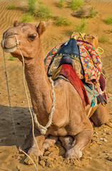 A camel in Desert,Jaisalmer, India