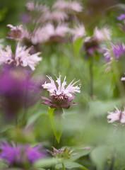 flowering pink Monarda
