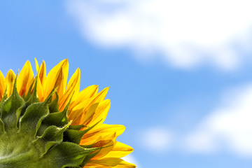 Corner close-up of sunflower leaves on blue sky background