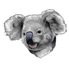 Koala head colored drawing sketch vector graphics