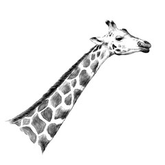 giraffe head sketch vector graphics monochrome illustration black and white