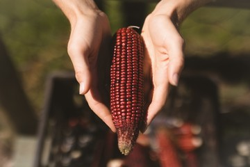 Cropped hands showing maroon corn cob
