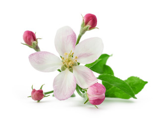 Apple Flower with buds
