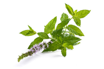 Mint plant with flowers