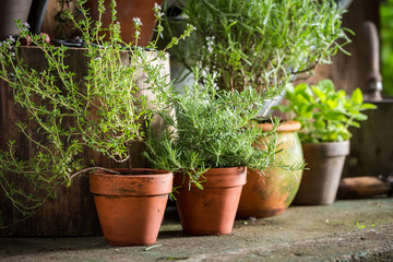 Aromatic and healthy herbs in summer garden