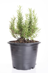 Rosemary tree plants in plastic black flower pot isolated over white background