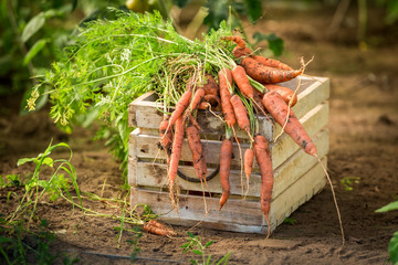Fresh and bio carrot on old wooden box