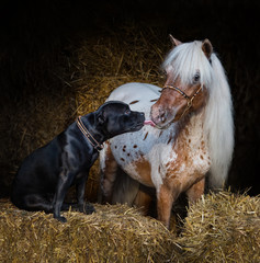 Wall Mural - Staffordshire Bull Terrier dog and appaloosa American miniature horse.