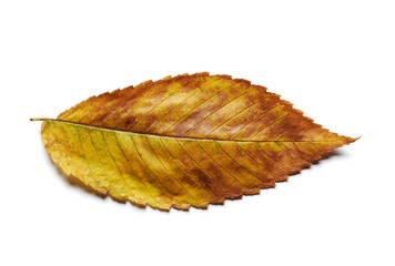 Yellow, orange, and brown autumn elm tree leaf close up isolated on white.