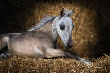 American Miniature Horse. Dun foal lying on straw.