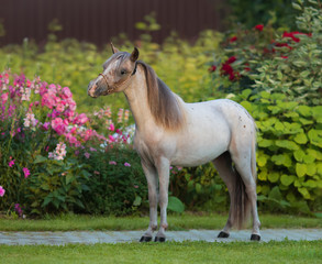 Wall Mural - American miniature horse. Young stallion on green grass in garden.