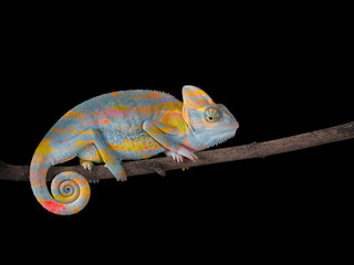 Chameleon on a branch with a spiral tail. Gray-yellow scales
