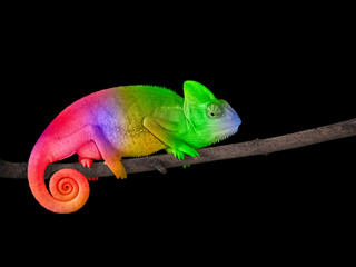 Ingelijste posters Kameleon Chameleon on a branch with a spiral tail. Bright colorful rainbow color scales